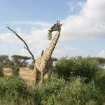 Giraffe in weiter Landschaft