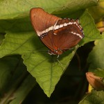 Schmetterling in freier Natur